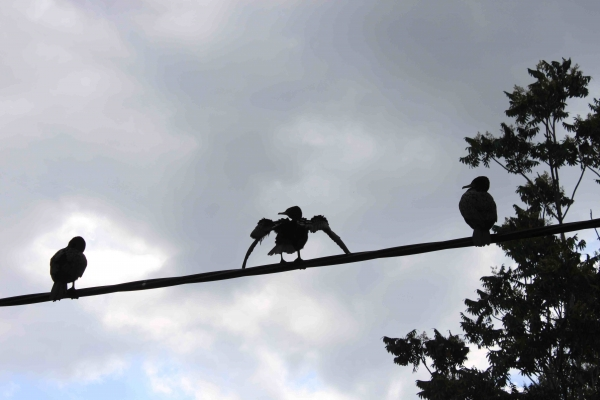 Little Black Cormorants above Arnwood Place Bridge